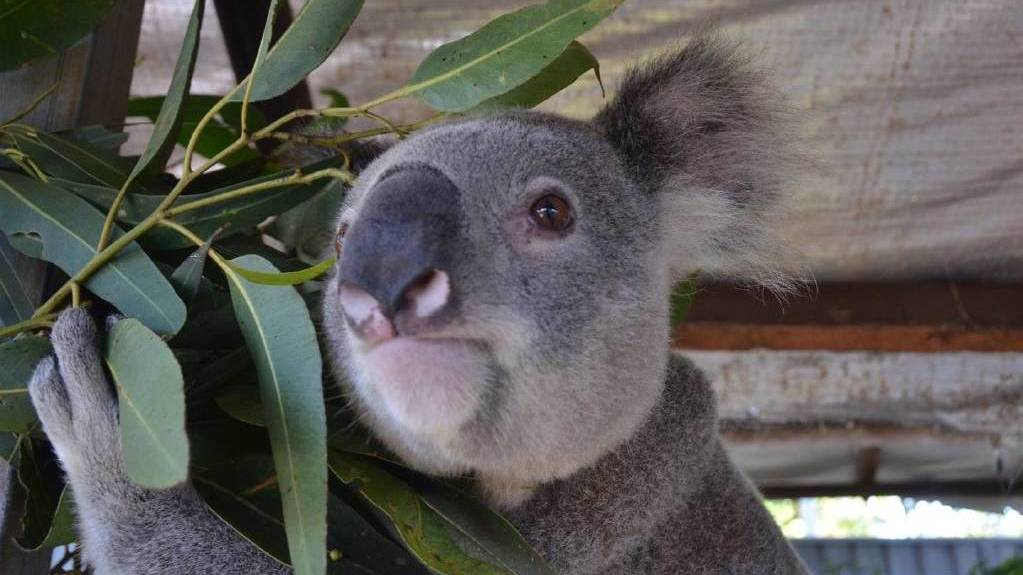 Giveaway: The Port Macquarie Koala Hospital's annual koala food tree giveaway is on Saturday, March 21.