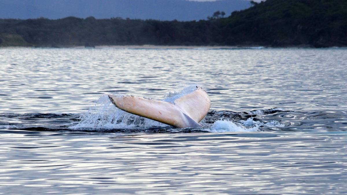 MIGALOO, one of the world's rarest and most spectacular whales, has shared his magic with Port Macquarie.